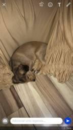Vendo Filhote de Labrador misturado