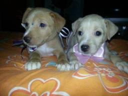 Labrador x dog brasileiro so 150 cada.