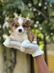 Chihuahua filhote com 3 doses de vacina importada e pedigree