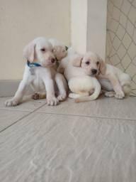 Promoção para pagamento Labrador avista$ 950,00