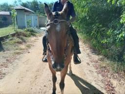 Vendo Cavalo Marcha Picada