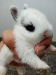 Título do anúncio: Coelhos anões  - mini coelhos