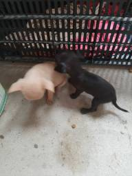 São dois cachorro pinscher número um