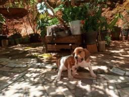 Vendo 2 cachorras beagle