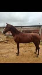 Cavalo MM paulista castrado