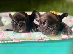 Babys de Bulldog Francês Com Pedigree