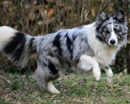 Filhotes da Raça Border Collie Cão mais inteligente do mundo