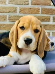 Filhotes da Raça Beagle padrão 13 Polegadas. Menores da raça