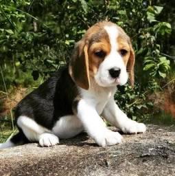Bebês de beagle com suporte e garantia