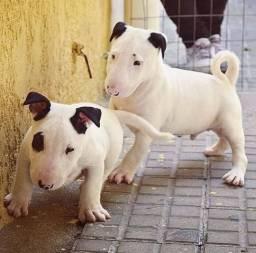 Bull terrier filhotes machos e fêmeas a pronta entrega