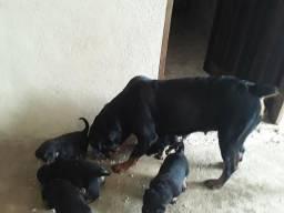 Vendo filhote de cachorro Rottweiler
