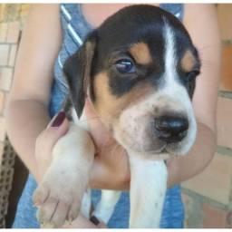 Filhotes de cachorro raça Beagle