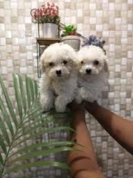 Poodle Macho ou fêmea,Parcelo até 10x