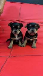 Filhotes Fêmeas Yorkshire terrier