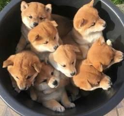 Shiba Inu Lindos machos e femeas a pronta entrega
