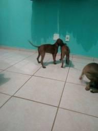 Doação de filhote de cachorro fêmea 3 meses