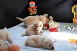 Filhotes TOP's de Labrador Retriever Champanhe!