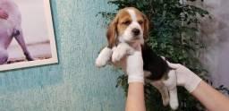 Beagle - Lindos Filhotes (Consulte por WhatsApp)