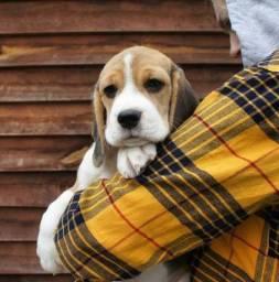 Filhotinhos de Beagle