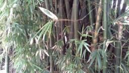 Vendo Bambu 'in natura'