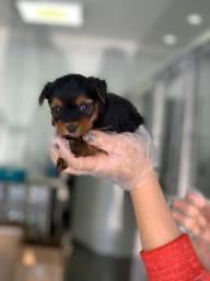 Yorkshire Terrier com garantia e suporte veterinário gratuito até 6 meses de vida