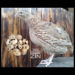 Ovos fecundados de codorna gigante (galados)
