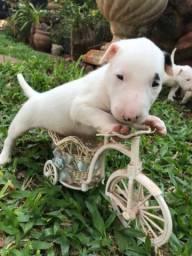 Vendo filhotes de Bull Terrier, com 45 Dias , com ótimo cuidado