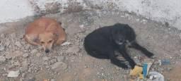 Vendo dois cachorros pinschers adultos
