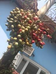 Sementes e mudas palmeiras veictha mirili, ou Hawaii