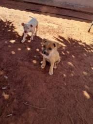 Filhotes de pit Bull Red nose american  terrier
