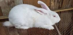 Vendo coelho nova Zelândia
