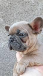Bulldog francês Blue Faw