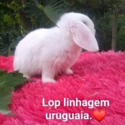 Mini lop linhagem uruguaia.