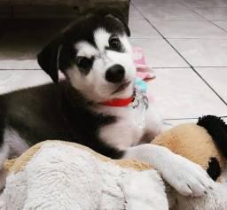 Filhote de husky siberiano para doação