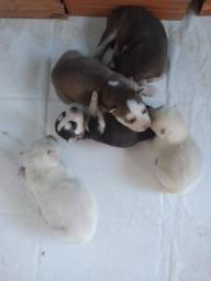 Filhotes Husky Siberiano puros