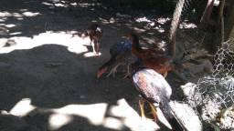 Galo índio gigante. frango e frangas mestiças