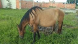 Cavalo ( égua) mangá larga com campilino prenha de 3 meses 2.700 reais