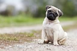 Oportunidade de ter um Pug, pronta entrega João pessoa.