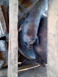 Mini Porcos caipira