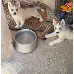 Filhote de huski siberiano Puro