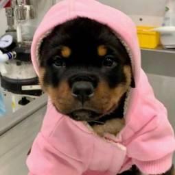 Filhotes de Rottweiler a pronta entrega