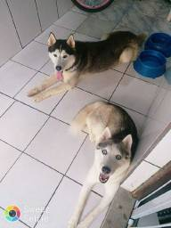 Fêmea de husky siberiano 8meses 1500