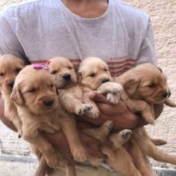 Filhotes Golden Retriever Puro