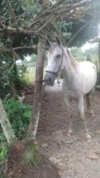 Cavalo estraordinario pra andar de macha picada ! Linhagem perfeita