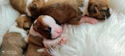 Filhotes de cachorro boxer