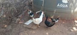 Rancho CW Patos: 3 machos 50$ cada, 3 fêmeas 50$ cada. Filhotes  20$ cada .