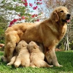 Golden, lindos filhotes vacinados