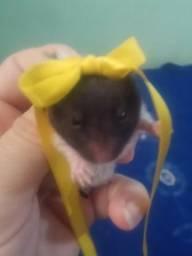 Hamsters Sírios