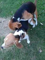 Reserva de Beagles 13 polegadas