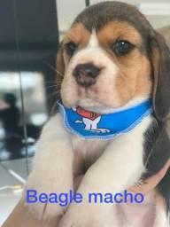 Lindo machinho de Beagle